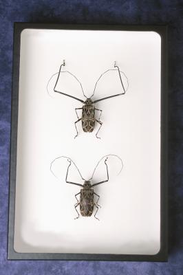 Cómo conservar los insectos con Glicerina