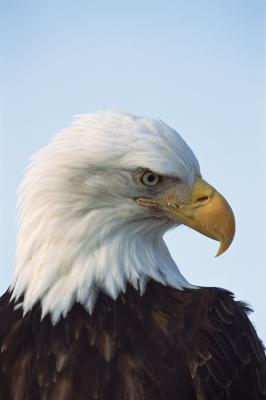 Cómo saber la diferencia entre un altísimo buitre de Turquía y Eagle