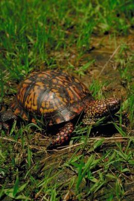 Las especies de tortugas del delta del Mississippi