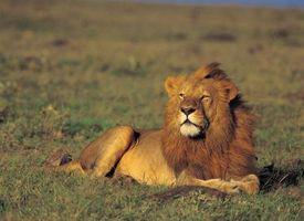 Diferencia entre macho y hembra leones