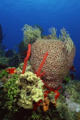 Tipos de esponjas en el filo Porifera