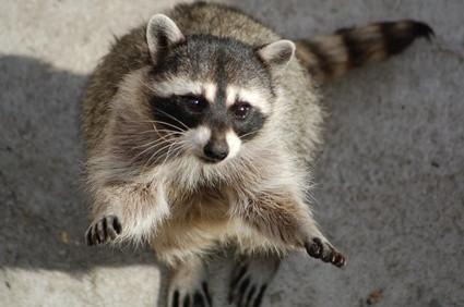 El hábitat natural de los mapaches