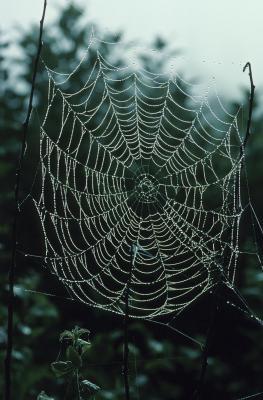 Tipos de arañas del Norte de América