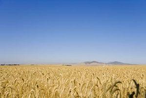 Los usos no comestibles de trigo