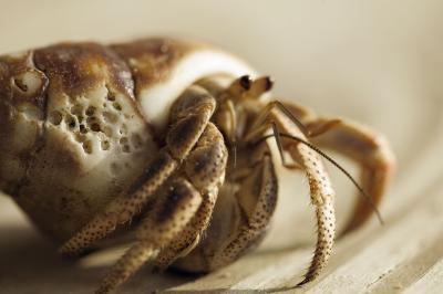 Cómo comer Do marina salvaje cangrejos ermitaños?