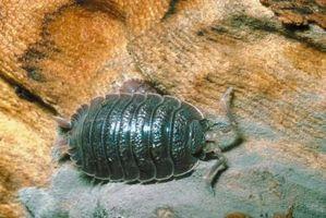 ¿Qué comen los insectos brazo de gitano?
