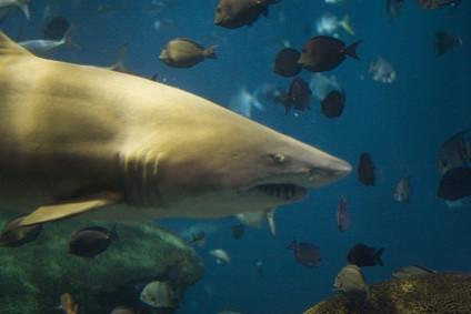 Tipos de aletas de tiburón