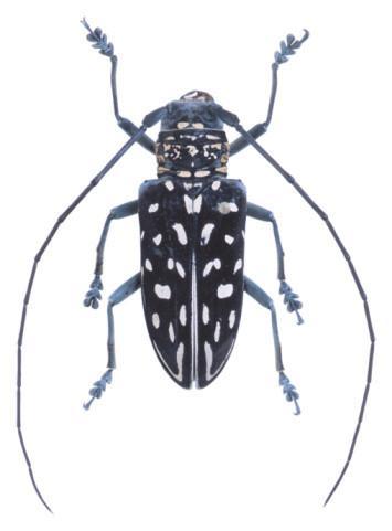 Descripción del escarabajo de cuernos Long-Asia - Cusiritati.com