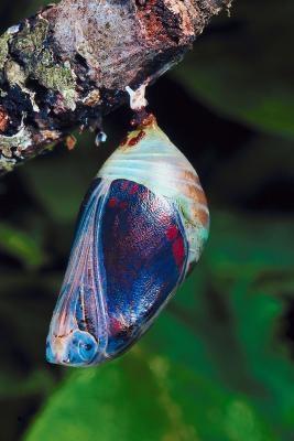 Acerca de la mariposa de crisálidas