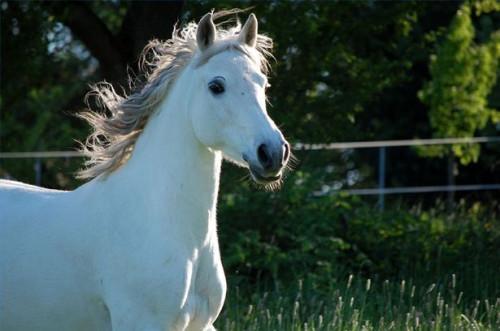 Cómo hacer un disfraz de caballo árabe