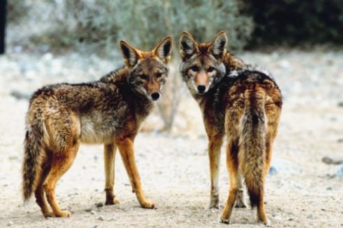 Datos de los coyotes de Florida