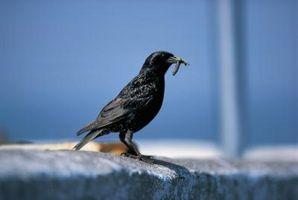 Cómo eliminar una trampa de pegamento de las aves