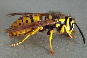 La diferencia entre avispas y las abejas