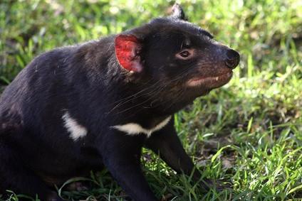 ¿De qué manera afecta a los humanos Tasmanian Devil hábitats?