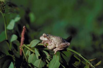 Grúas ranas que suenan como Sandhill