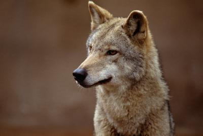Cómo utilizar Trampas para la captura de los coyotes
