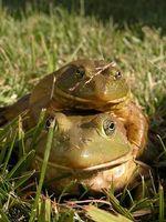 Cómo distinguir entre macho y hembra ranas y sapos