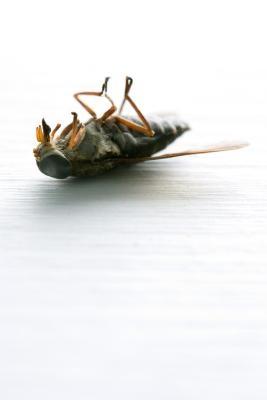 Cómo matar moscas Greenhead