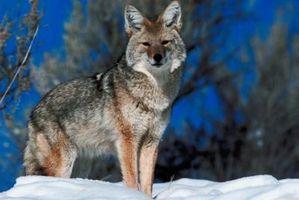 Similitudes entre coyotes y perros esquimales siberianos