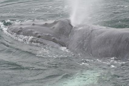 ¿Cómo funcionan las ballenas sobrevivir en agua salada?