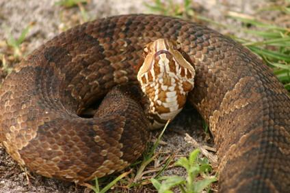 Mocasín de agua Información de la serpiente