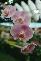 Clasificaciones científicos de las orquídeas