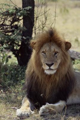 ¿Cuál es la diferencia entre leones africanos y asiáticos?