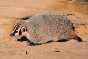 Arizona Especies Badger