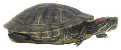 Cebo adecuado para Trampas tortuga viva
