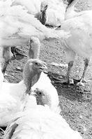 Cómo construir un recinto diurno de seguridad relativas a las aves de corral