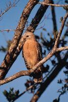 Indiana Especies Hawk