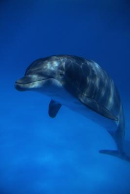 La diferencia entre el Dolphin Fish & Dolphin Mamífero