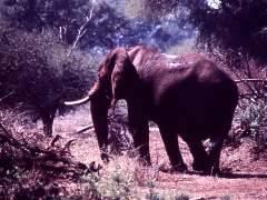 ¿A qué edad elefantes vivos Para?