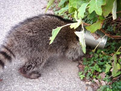 Información sobre la dieta de los mapaches