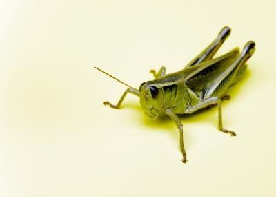 ¿Qué características tienen las hormigas tienen que los saltamontes no lo hacen?