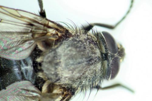 Lista de los insectos que comen carne muerta