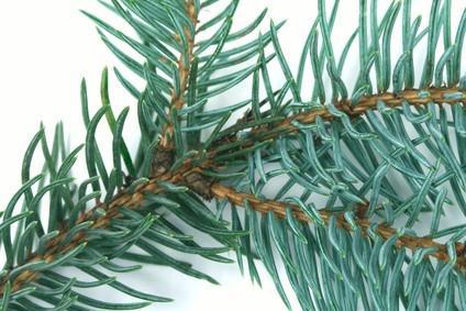 Identificación de Plantas de abeto Douglas