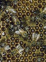 Las fuentes para la cera de abejas