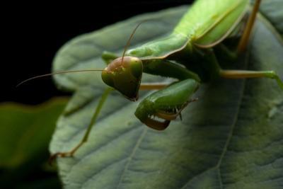 ¿Cómo configurar Praying Mantis Jaulas