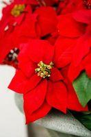 Las plantas tradicionales de Navidad
