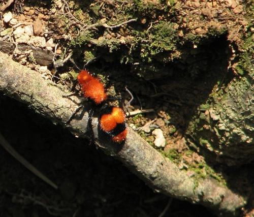 Cómo identificar el asesino de la vaca de la hormiga