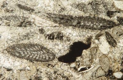 Cómo encontrar el rango de edad de un fósil