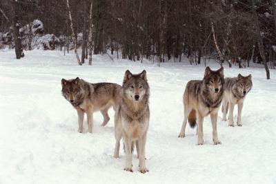 La información sobre las garrapatas que la mordedura de los lobos grises