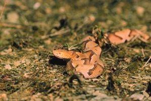 Descripción de la Serpiente de Copperhead