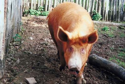 Opciones de matar de cerdo