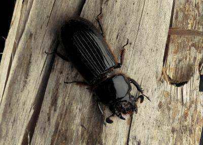 Cómo controlar los escarabajos de tierra Negro