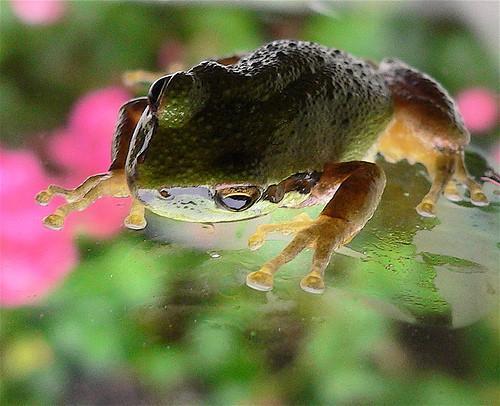 Las partes del sistema muscular de una rana