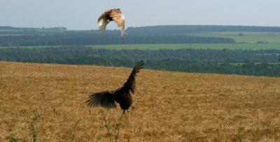 Cómo saber la diferencia entre un halcón masculino y femenino