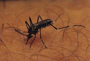 ¿Cómo los mosquitos Depende del ecosistema?