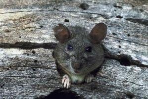 La diferencia entre las ratas y zarigüeyas